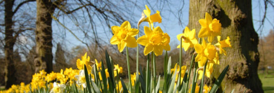 Daffodils during Easter