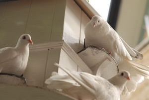 Resident White Doves of the Parish